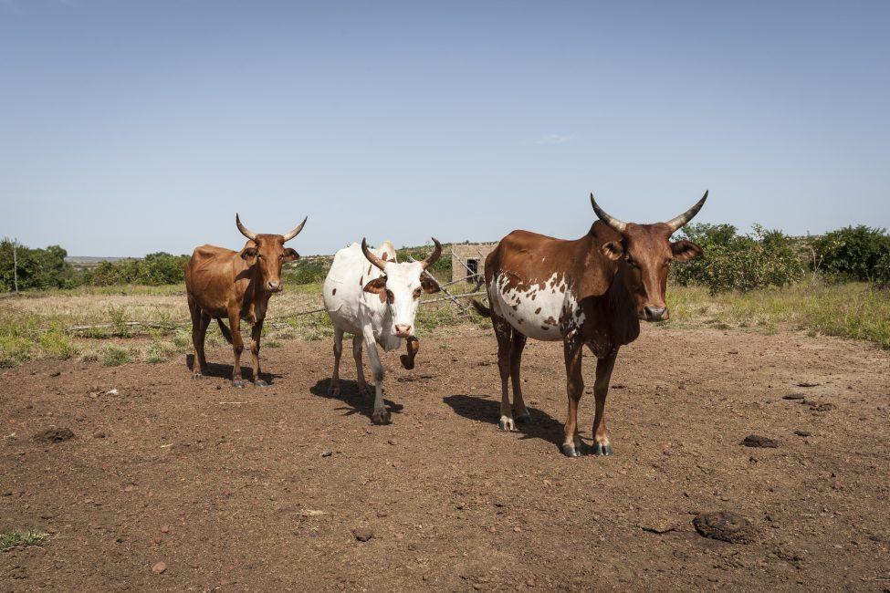 veehouderij en klimaatverandering
